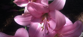 Pink Lilies.