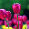 tulips bright pink