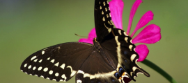 A butterfly is resting on a bright pink flower, it is a brown butterfly with beautiful white spots.