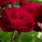 Three deep red open rose blooms.